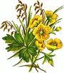 Wild Sweet William: A Good Guy for Spring: Gardening