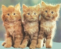 red tabby kittens